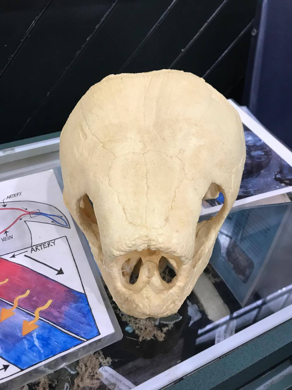 The Leatherback Skull - The Georgia Sea Turtle Center