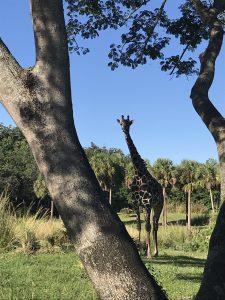 Giraffe - Disney World